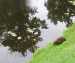 Riga canal plagued by beavers